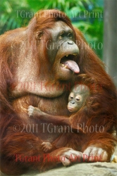 Collectible Art Print - 'Orangutan with Baby'  by photographer Thomas S. Grant